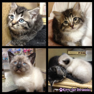 Kittens - Circle of Friends Animal Society