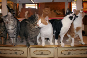 Photo: FIV+ and FIV- cats together