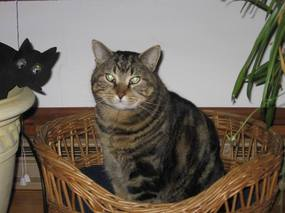 Photo: FIV Cheeto Cat