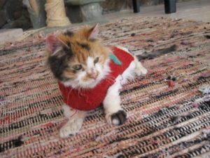 Rose - CH Cat