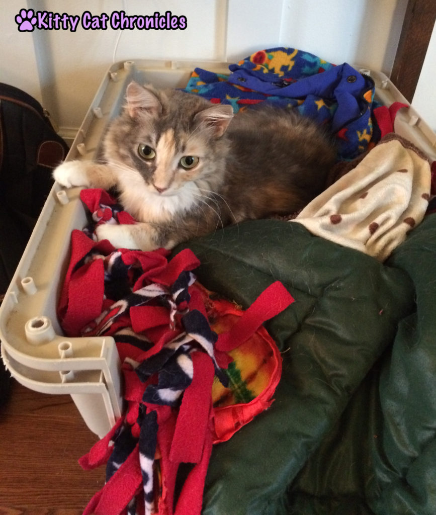 Sophie cat in Lucy's dog bed