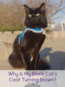 Why is My Black Cat's Coat Turning Brown? - black cat
