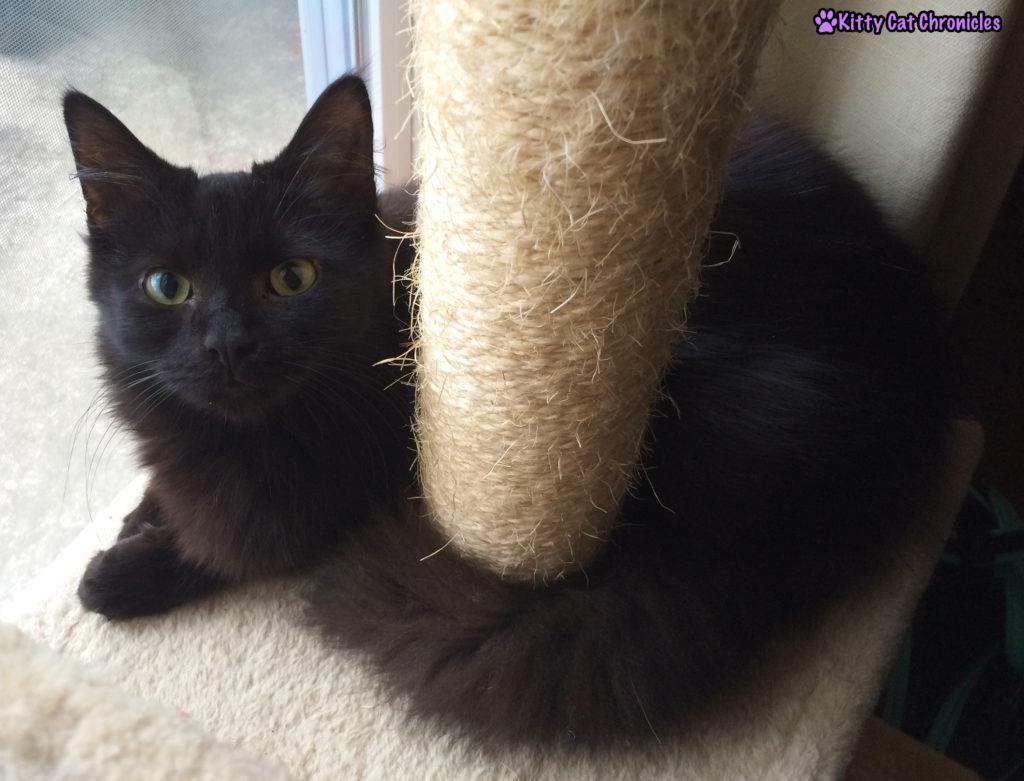Kylo Ren, black cat - Why is My Black Cat's Coat Turning Brown?