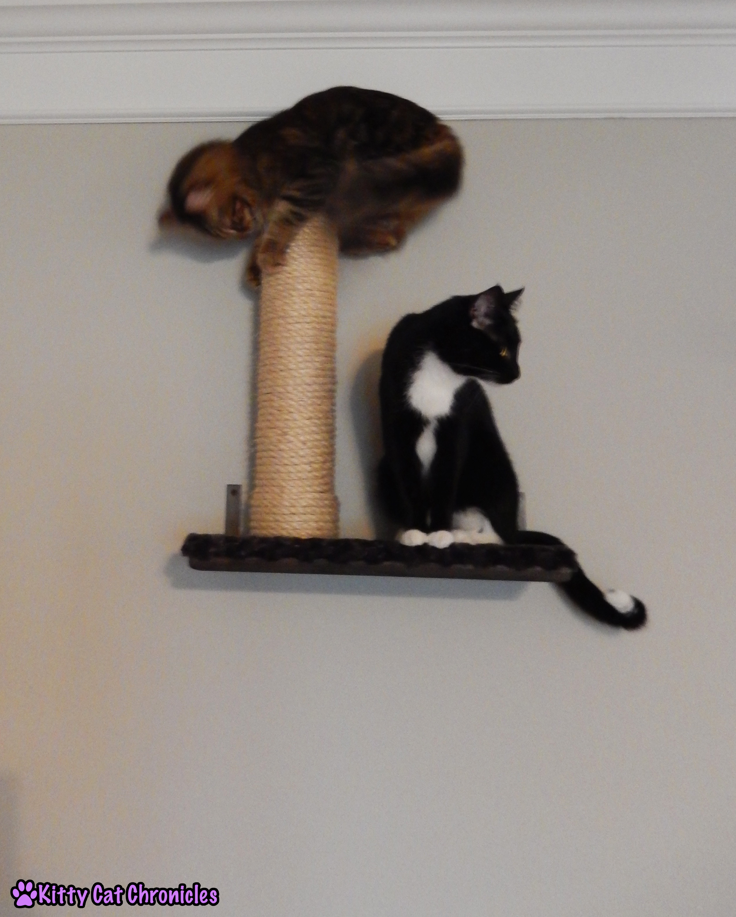 Caster & Sampson - two cats on shelf; Leap Frog