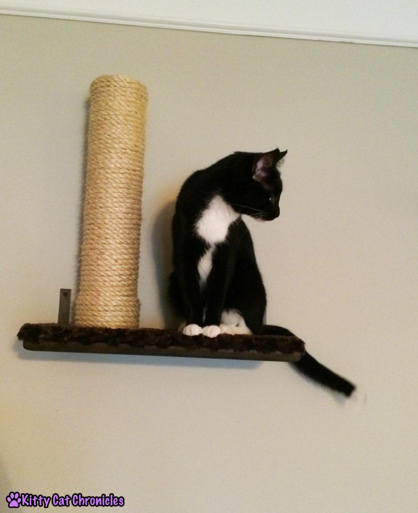 Sampson cat on shelf