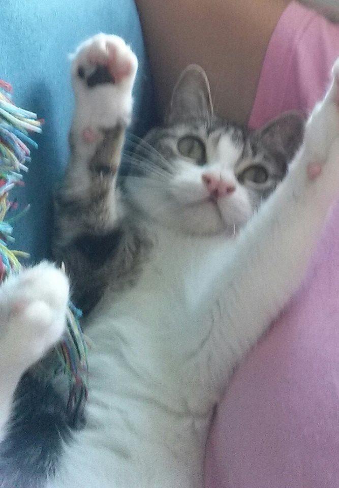 Cucumber CH Cat
