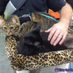 The Adventure Team Goes to BlogPaws - Caster & Kylo in Cat Style Lounge