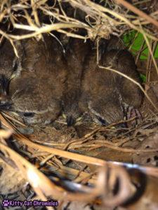 The Carolina Wrens have Finally Fledged - baby birds in nest