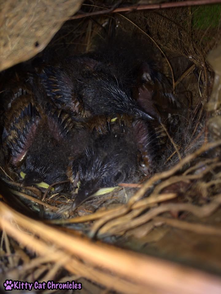 The Carolina Wrens have Finally Fledged - baby birds