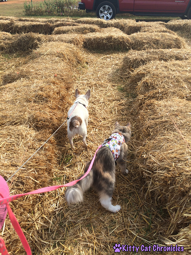 The KCC Adventure Team Continues Their Search for the Great Pumpkin at Lane Southern Orchards - Sophie and Lucy in the Hay Maze