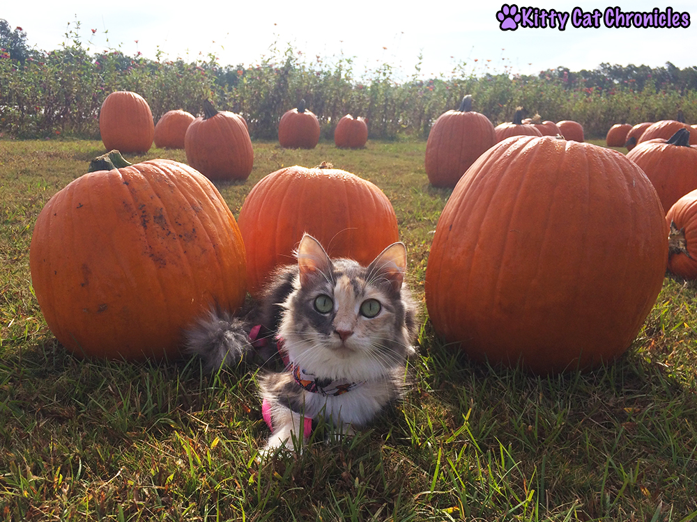 The KCC Adventure Team Continues Their Search for the Great Pumpkin at Lane Southern Orchards - Sophie in the Pumpkin Patch