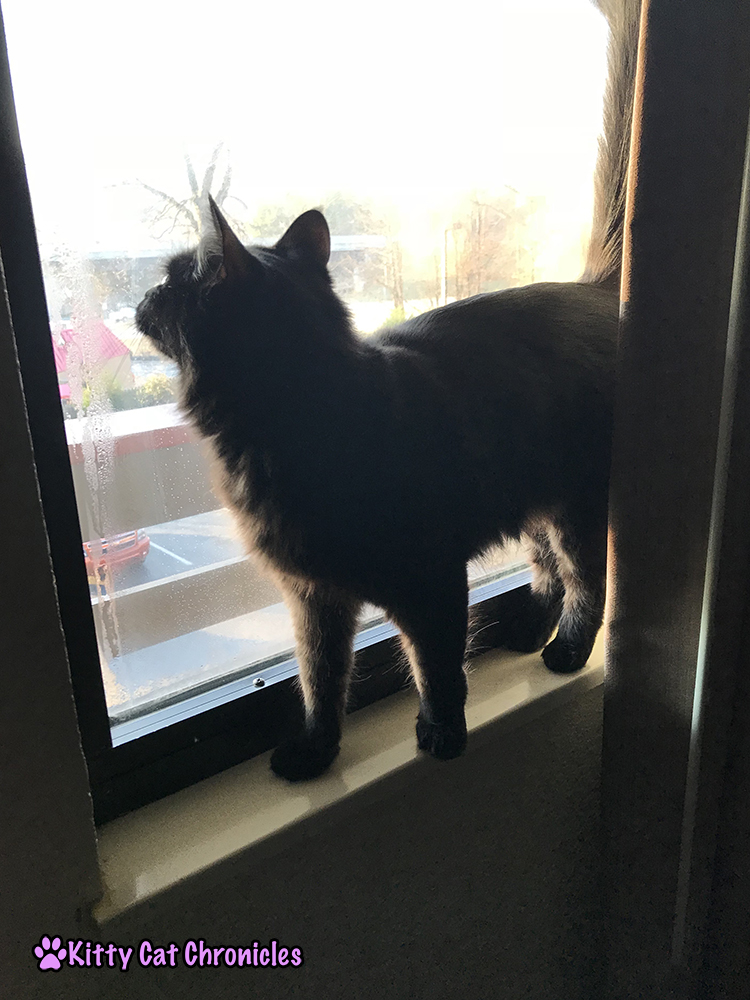 5 Reasons Red Roof Inn is Our Top Choice for Pet-Friendly Hotel Stays - Kylo Ren, Adventure Cat in the window