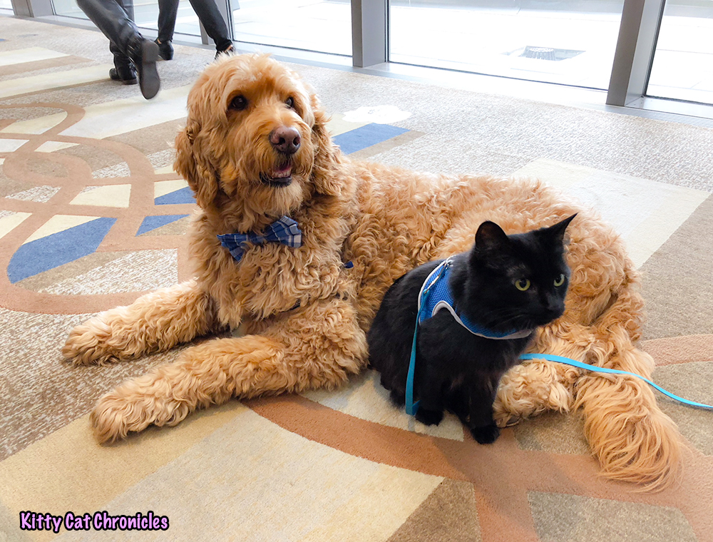 BlogPaws 2018 Recap with Kylo Ren - Kylo and Spencer the Golden Doodle