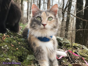 Kylo Ren's Birthday Hike at Brown's Mount - hiking cat with cerebellar hypoplasia