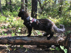 Hiking in the Welaka State Forest with Kylo Ren - black cat hiking on leash