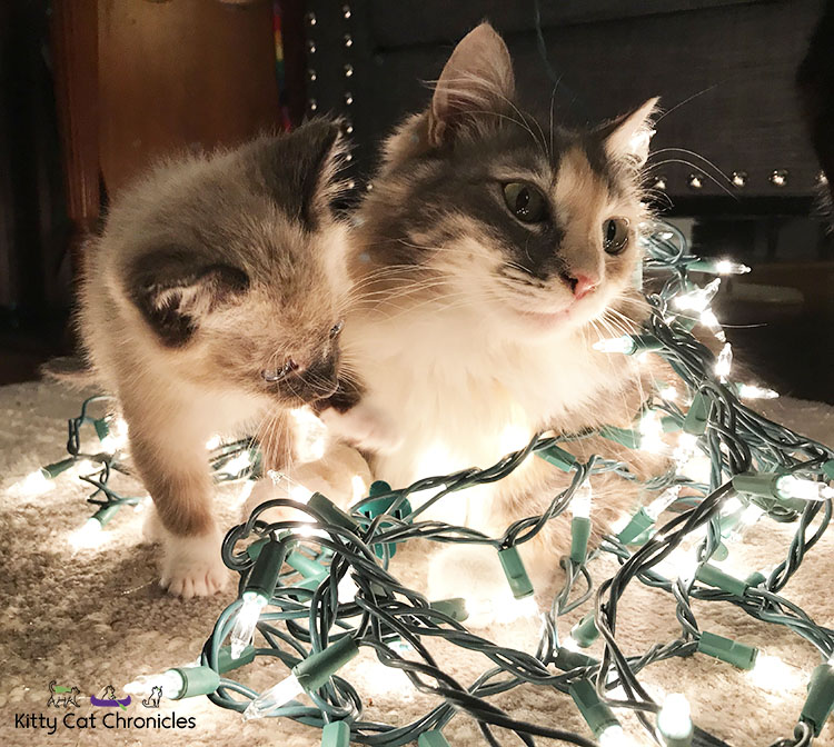 Meet Our First Foster Kitten, Gryphon! - Gryphon and Sophie