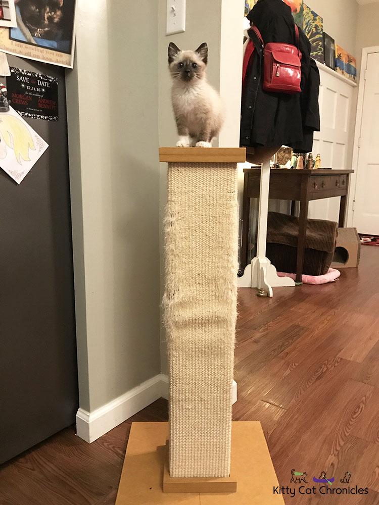 Meet Our First Foster Kitten, Gryphon! - kitten on scratcher