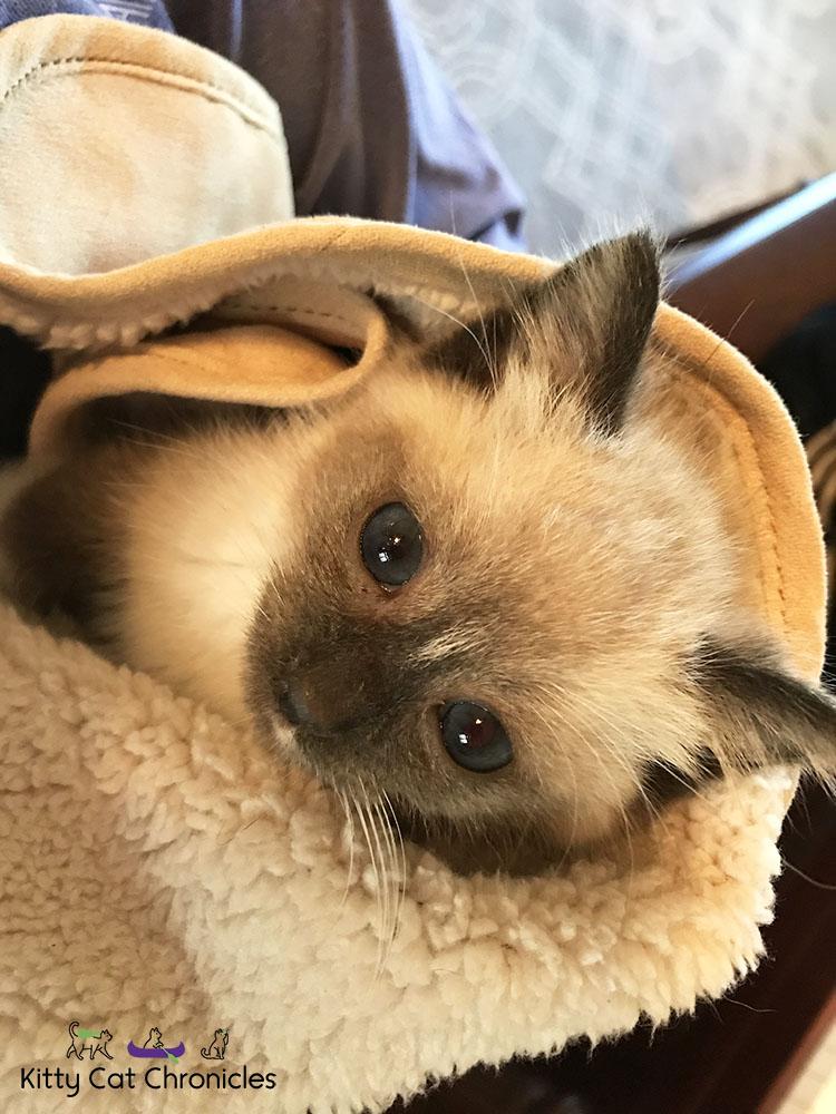 Meet Our First Foster Kitten, Gryphon!