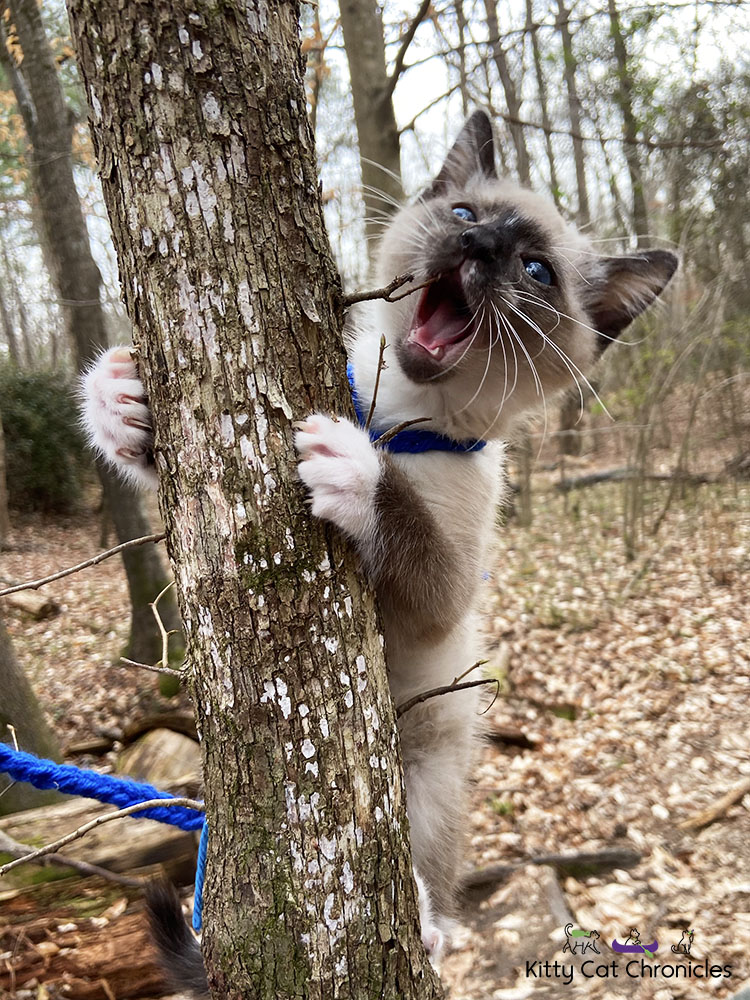 Family Hike in Caster's Memory - Gryphon the Kitten climbing a tree