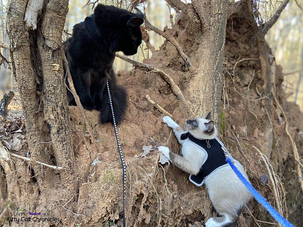 Piedmont National Wildlife Refuge with Kylo Ren & Gryphon - cat on tree