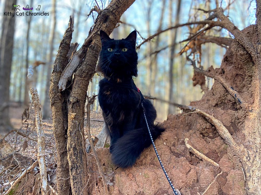Piedmont National Wildlife Refuge with Kylo Ren & Gryphon - black cat on tree root ball