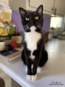 black and white cat - Sampson