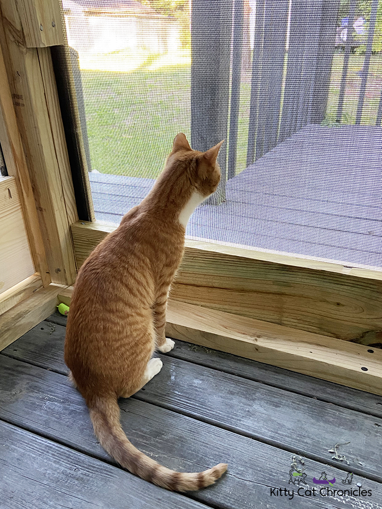 Raddy on the Catio