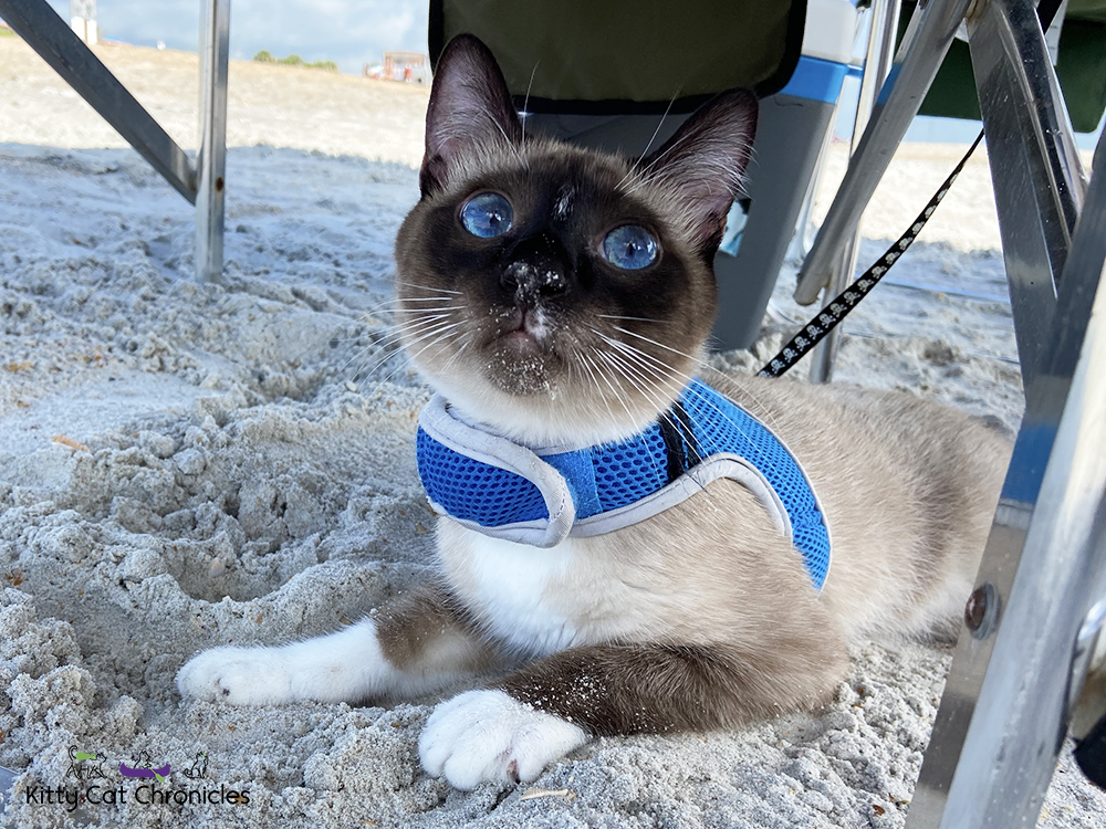 cat playing in the sand