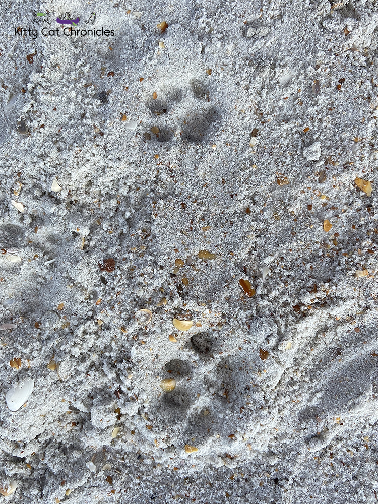 cat paw prints in the sand