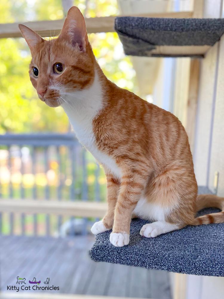 orange tabby cat on a catio