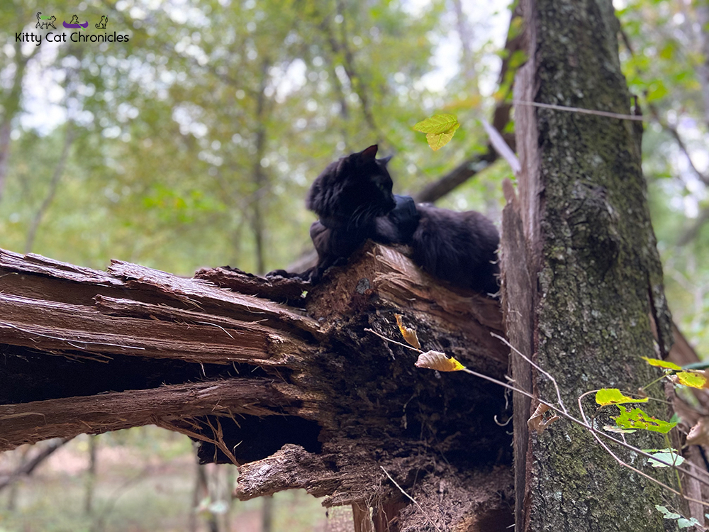A Hike in the Woods for the KittyCatGO Adventure Challenge - black cat on a fallen tree