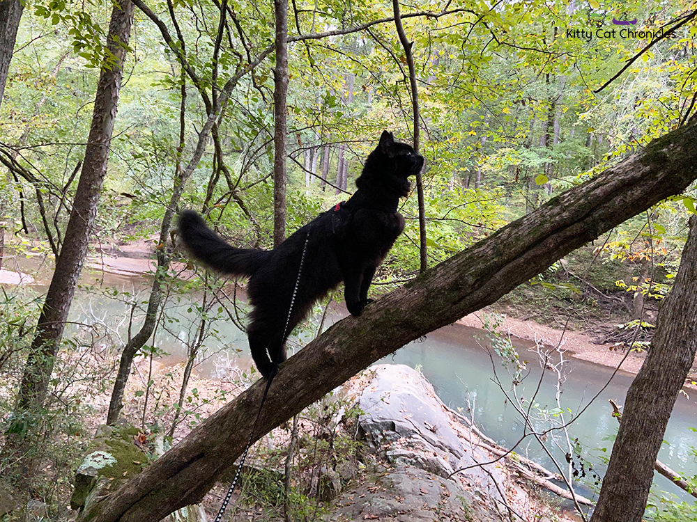 A Hike in the Woods for the KittyCatGO Adventure Challenge - black cat climbing a tree