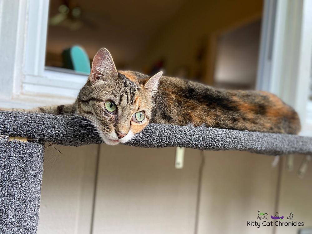 Delilah, cat on a catio shelf