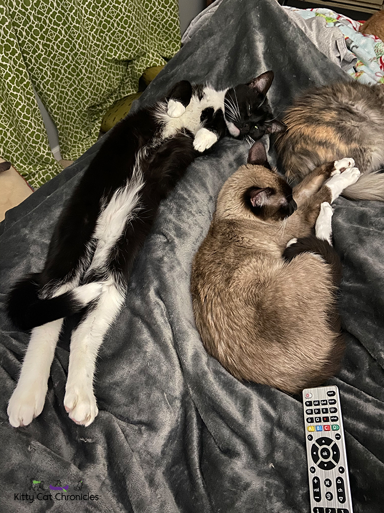 three cats snuggling on a bed